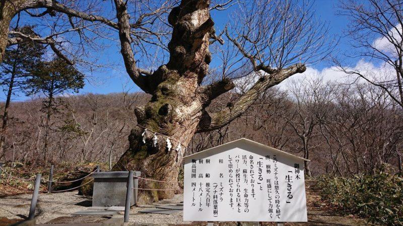 御神木のミズナラは樹齢800年