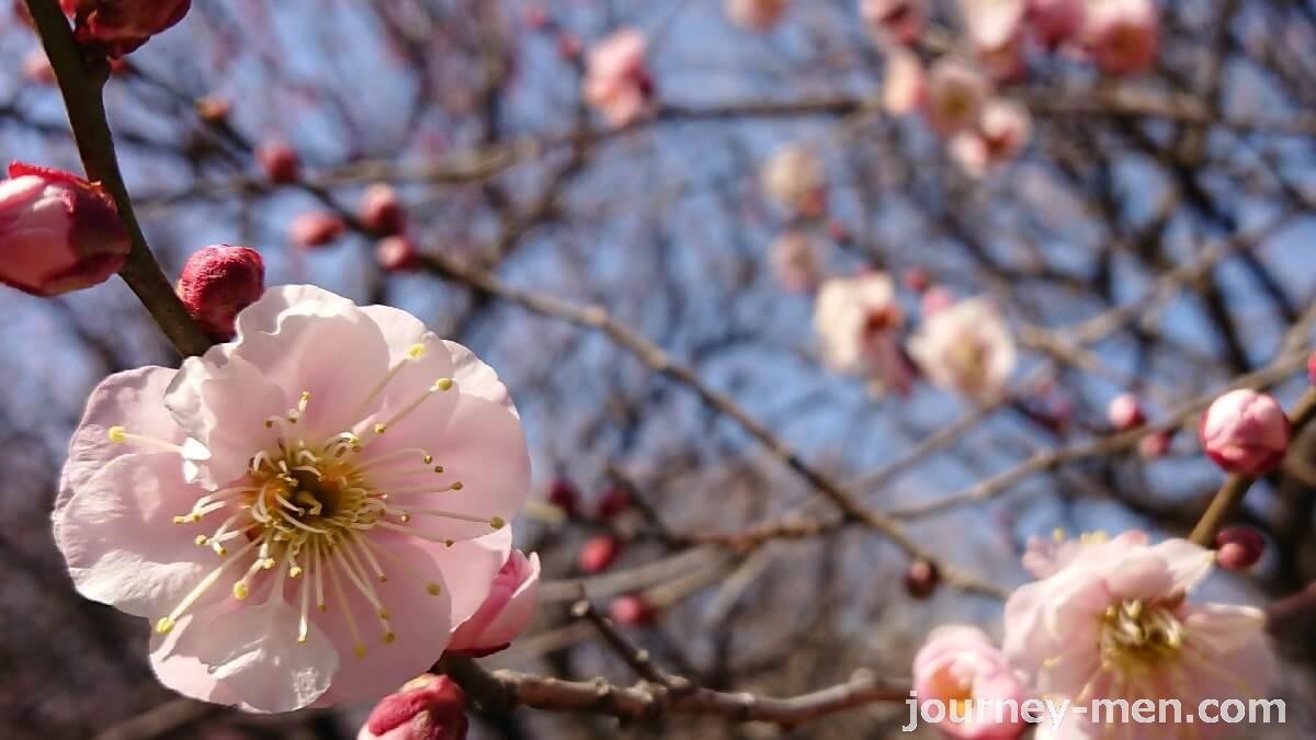 越谷梅林公園の梅の種類と見頃・駐車場について