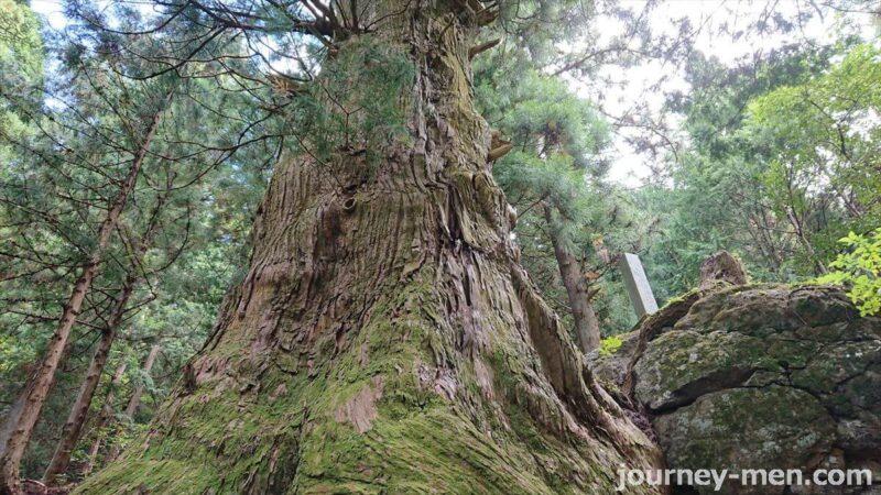 湯島の大杉
